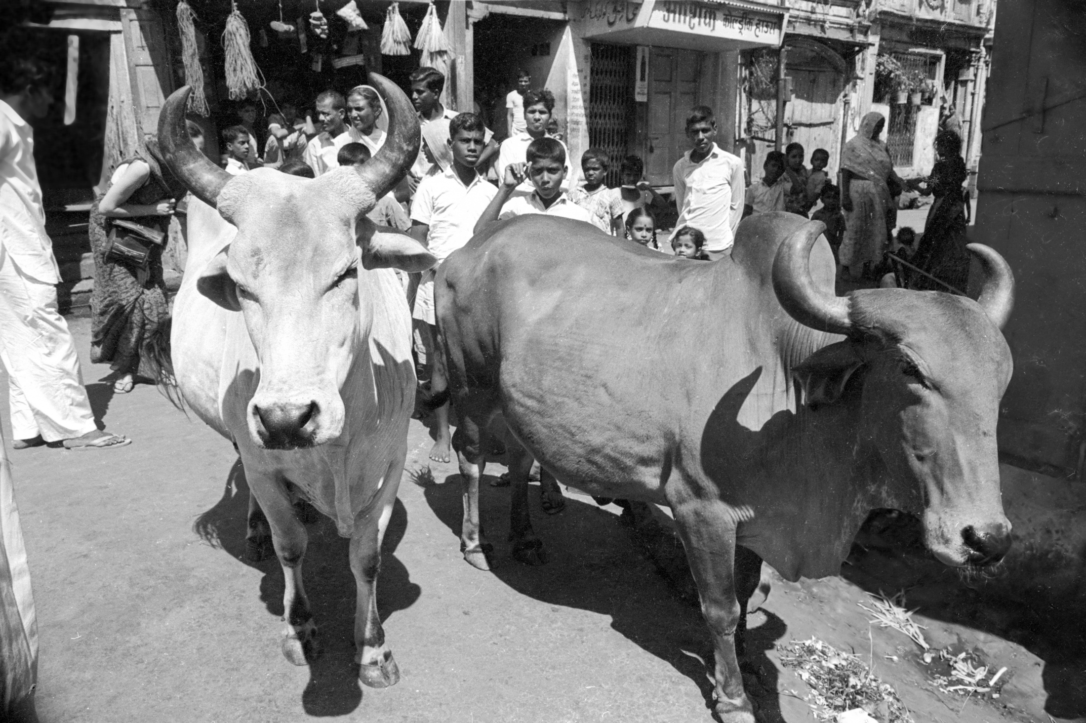 EXCLUSIVELY FEATURED BY EASTPRO - india 1970 - sacred cows in bombay