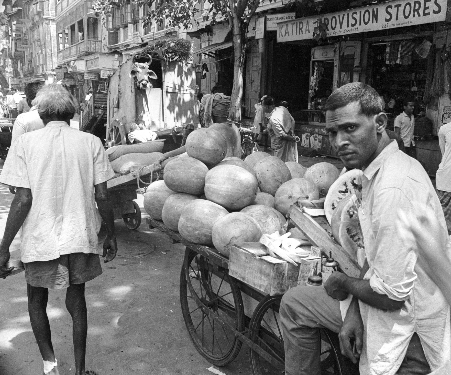 india 1970 - tranporting coconuts - cow in bombay