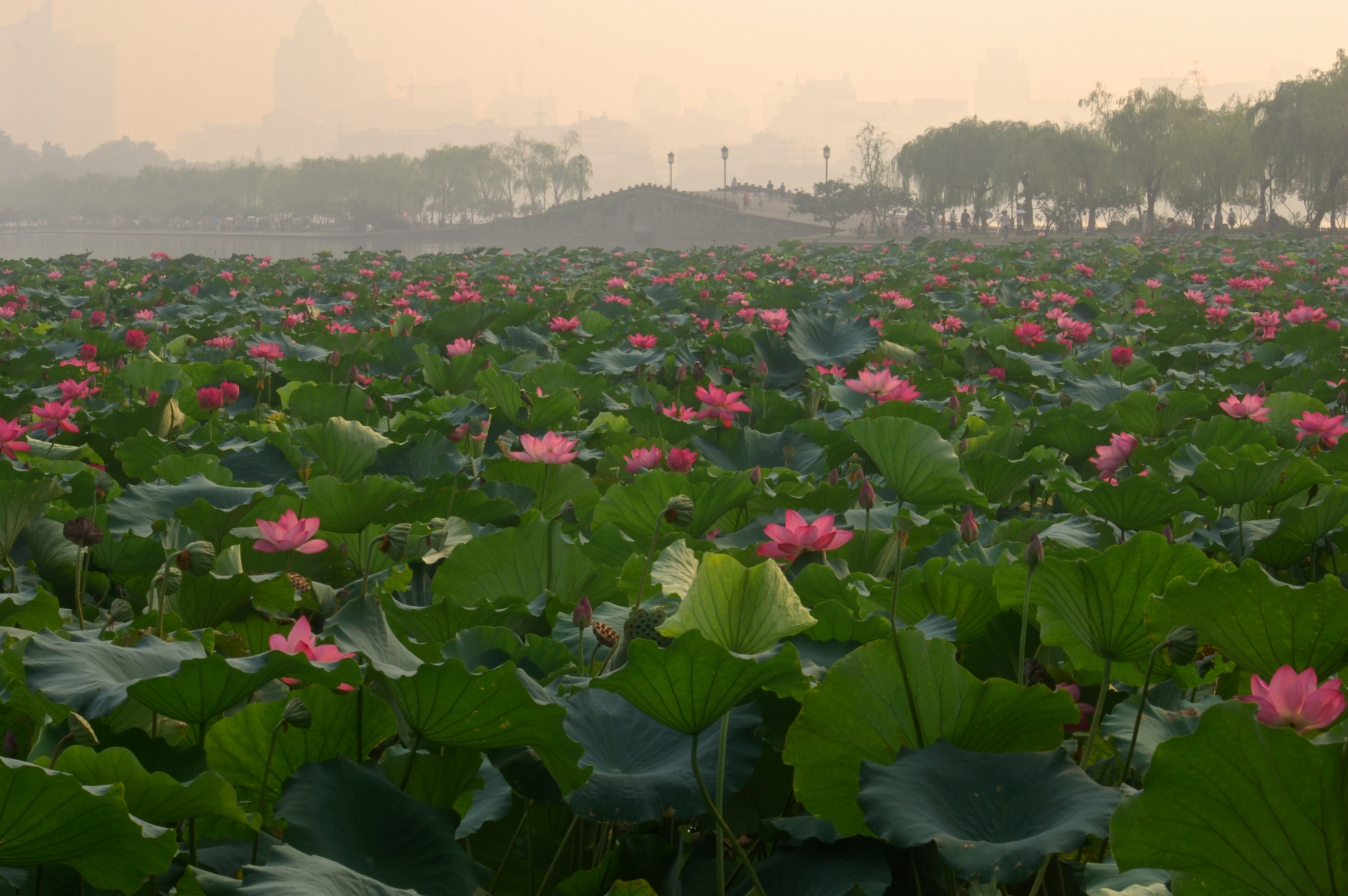 hangzhou china - lotus pond