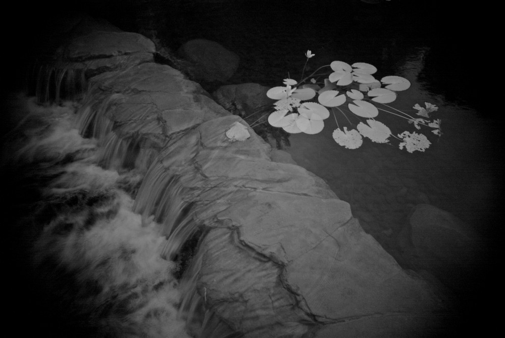 lotus leaves by the river
